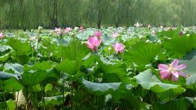 Het meer van het Hangzhouwesten met lotusbloembloemen Royalty-vrije Stock Foto