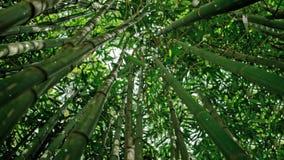 Het meest forrest bamboe stock video