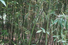 Het meest forrest bamboe Royalty-vrije Stock Foto's