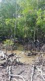 Het meest reforest mangrove Stock Afbeelding