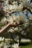 Het meisje houdt een magnoliabloem Detail van Magnoliastellata Royalty-vrije Stock Afbeeldingen