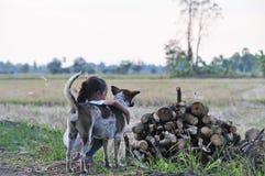 Het meisje met bruine en witte hond op het gebied in landelijk Thailand stock foto's