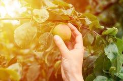Het meisje met haar handscheuren van een rijpe sappige appel van een boom Concept landelijk het leven en huisfruit royalty-vrije stock afbeeldingen