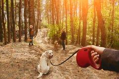 Het meisje op een leiband leidt een Labrador, die ronddraait en de camera onderzoekt royalty-vrije stock foto's