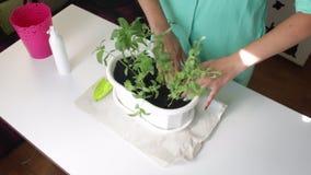 Het meisje plant munt over De handen haalt de grond bij de wortels van installaties aan stock video