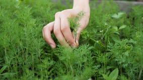 Het meisje plukt dille van de tuin met haar hand dichte omhooggaand stock videobeelden