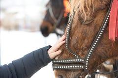 Het meisje raakt het gezicht van het paard met zijn hand hild strijkt de hand het gezicht van een paard in een teugel royalty-vrije stock afbeeldingen