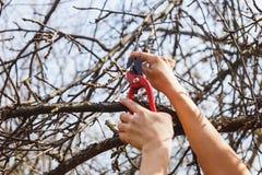 Het meisje snijdt takken met pruners op een appelboom ent stock foto