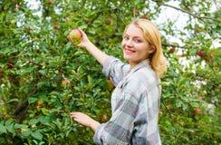 Het meisje verzamelt de dag van de de tuinherfst van de appelenoogst Landbouwersdame die rijp fruit van boom plukken Het oogsten  royalty-vrije stock foto's