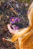 Het meisje verzamelt pasque-bloem in het de lentebos royalty-vrije stock fotografie