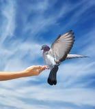 Het meisje voedt de duif Stock Foto's