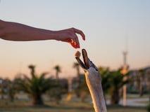 Het meisje voedt grijze zwaan royalty-vrije stock afbeelding