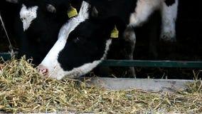 Het melken van koeien in de schuur stock footage