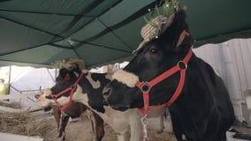 Het melken van koeien met hoeden die zich bij landbouwtentoonstelling bevinden Melkend vee stock video