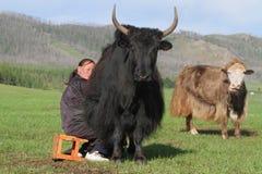Het melken van yaks Stock Fotografie