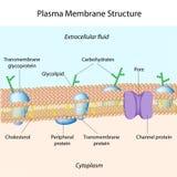 Het membraan van het plasma Stock Afbeelding
