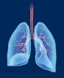 Het menselijke ademhalings 3d systeem geeft terug Stock Afbeeldingen