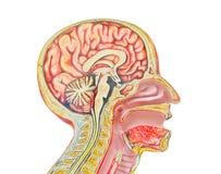 Het menselijke anatomische model isoleerde tegen een witte achtergrond van Stock Foto's