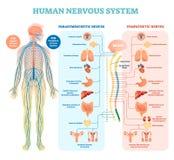 Het menselijke diagram van de zenuwstelsel medische vectorillustratie met parasympathetic en sympathieke zenuwen en verbonden bin Stock Foto's