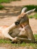 Het menselijke kijken kangoeroe Royalty-vrije Stock Foto