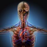 Het menselijke lichaam door Röntgenstralen op blauwe achtergrond vector illustratie