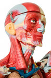 Het menselijke model van de spieranatomie Royalty-vrije Stock Foto