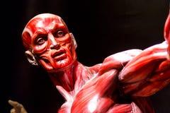Het menselijke model van de spierenanatomie op zwarte Royalty-vrije Stock Foto