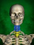 Het menselijke skelet m-sk-STELT BB-56-11, Ruggegraat, 3D Model Royalty-vrije Stock Afbeeldingen