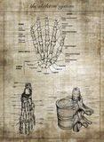 Het menselijke skeletsysteem, een deel van lichaam royalty-vrije stock afbeeldingen