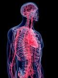 Het menselijke vasculaire systeem vector illustratie