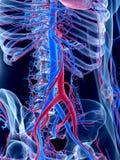 Het menselijke vasculaire systeem royalty-vrije illustratie