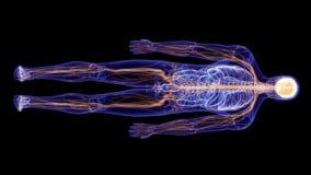 Het menselijke zenuwstelsel vector illustratie