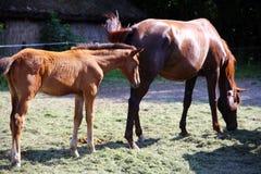 Het merrieveulen en haar moeder weiden samen zomer Stock Fotografie