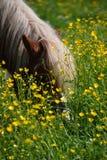 Het met gras bedekken van Paard stock afbeeldingen