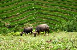 Het met gras bedekken van waterbuffels Stock Foto's