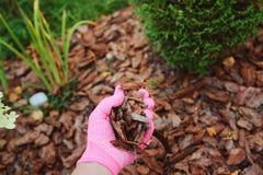 Het met mulch bedekken van tuinbedden met pijnboomschors Stock Afbeeldingen