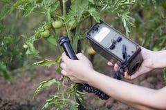Het meten van stralingsniveaus van tomaat Stock Afbeelding