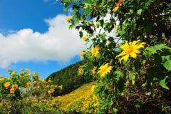 Het Mexicaanse gebied van de zonbloem Stock Fotografie