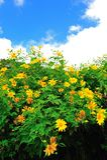 Het Mexicaanse gebied van de zonbloem Royalty-vrije Stock Afbeelding