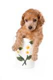 Het Middelgrote puppy van de poedel Stock Foto's