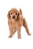 Het Middelgrote puppy van de poedel Royalty-vrije Stock Afbeeldingen
