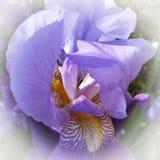 Het midden van een purpere iris Stock Foto's