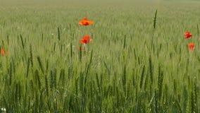 In het midden van een tarwegebied zijn verscheidene rode bloemen gegroeid stock footage