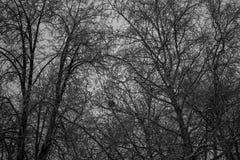 Het midden van het hout de grote donkere bomen Royalty-vrije Stock Afbeeldingen