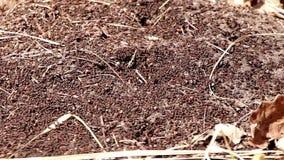 Het mierenwerk als groep in een mierenhoop stock footage