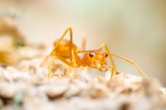 Het mierenwerk samen vol overgave Royalty-vrije Stock Afbeeldingen