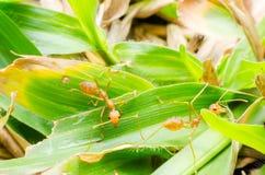 Het mierenwerk samen vol overgave Stock Afbeeldingen