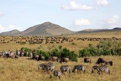 Het migreren Wildebeest en Zebra Stock Afbeelding