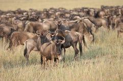Het migreren Wildebeest in Mara Stock Fotografie