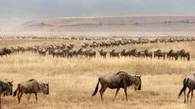 Het migreren Wilderbeast Royalty-vrije Stock Foto